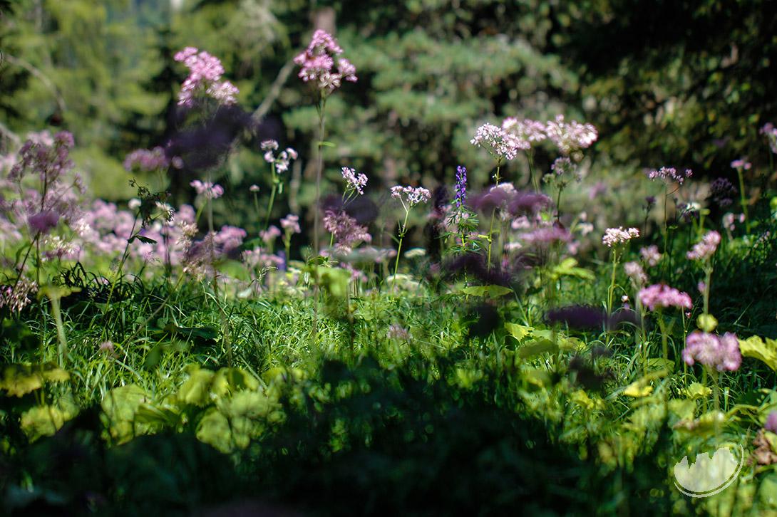 Adenostyles alliariae alpine plant
