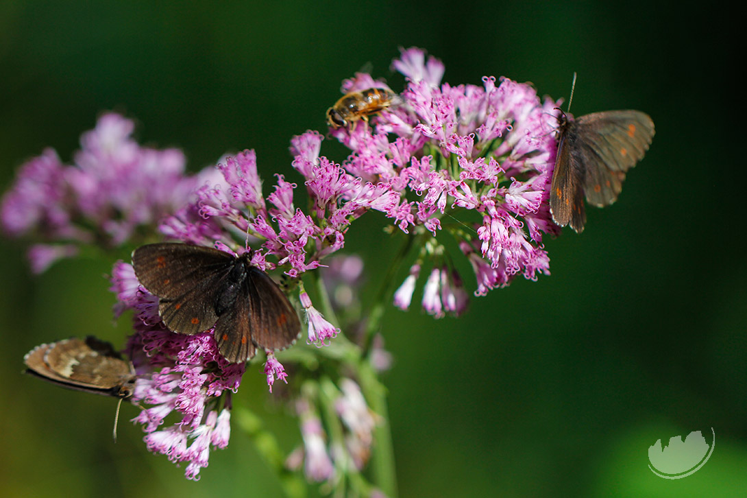 Butterflies and bees in Val di Fassa