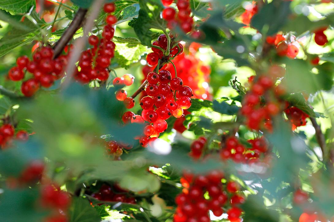 quick and easy redcurrant jam recipe